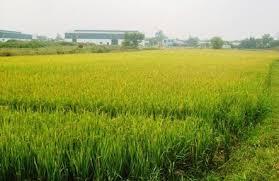 Chuyển mục đích sử dụng đất trồng lúa sang đất ở theo quy định