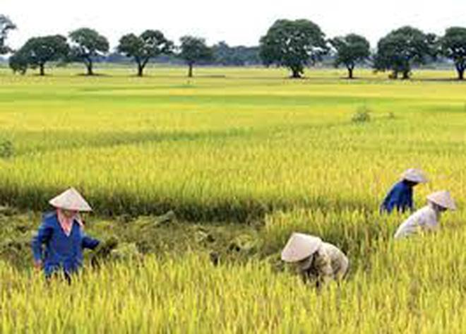 Chuyển mục đích sử dụng đất trồng lúa sang trồng cây lâu năm