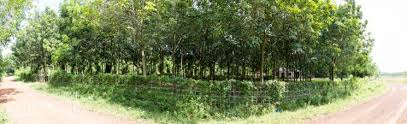 Thu hồi đất trồng cây lâu năm chưa được cấp giấy chứng nhận quyền sử dụng đất