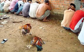 Đá gà ăn tiền có bị truy cứu trách nhiệm hình sự hay không?