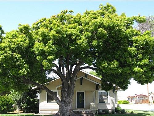 trồng cây lâu năm trên đất thổ cư