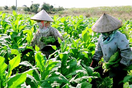 mẫu Giấy chứng nhận đủ điều kiện đầu tư trồng cây thuốc lá