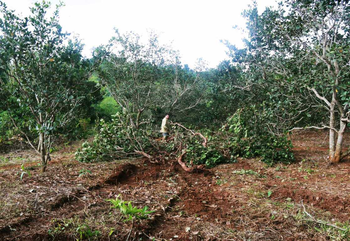 Giải quyết tranh chấp đất trồng cây lâu năm đã có sổ đỏ như thế nào?