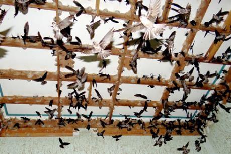 Bồi thường thiệt hại do ngừng thu hoạch chim Yến