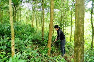 Chuyển nhượng quyền sử dụng đất rừng sản xuất